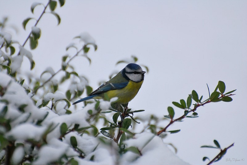 Blue tit in snow 12